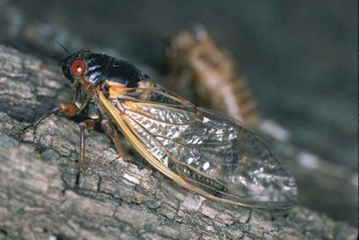 Periodical cicada R.